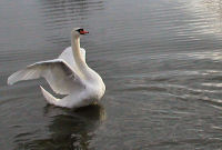 A swan on the River Thames
